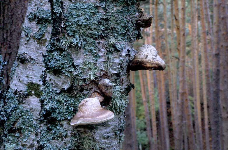 Piptoporus-betulinus.jpg
