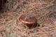 thumb_Gomphidius-rutilus.jpg