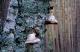 thumb_Piptoporus-betulinus.jpg