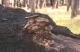 thumb_Pleurotus-ostreatus.jpg